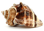 seashell-small